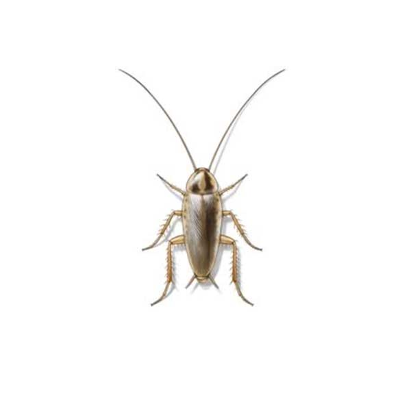 German cockroach identification in Puerto Rico - Rentokil formerly Oliver Exterminating
