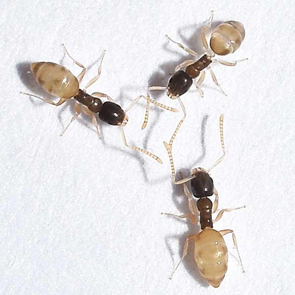 Ghost ants in Puerto Rico - Rentokil Formerly Oliver Exterminating